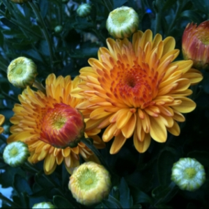 Saturday 3 p.m.: Time for Mums